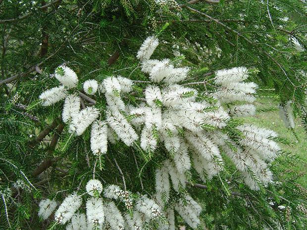 Sementes para Oleo de Melaleuca